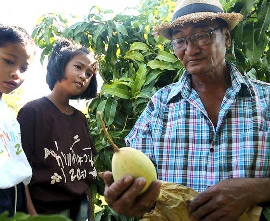 002 ลุงโมทย์ หรือ ปู่โมทย์ของเด็กๆ กำลังสอนวิธีเก็บมะม่วง