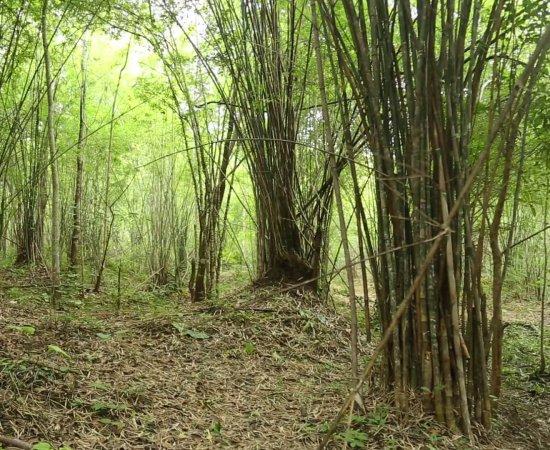 04 ป่าไผ่รวกบ้านยางโทน